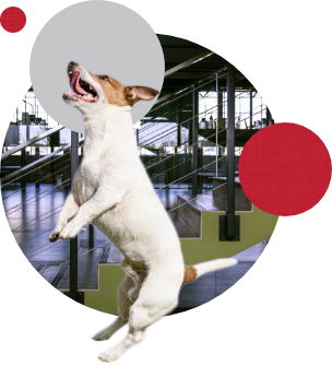 Jack russel jumping in circles